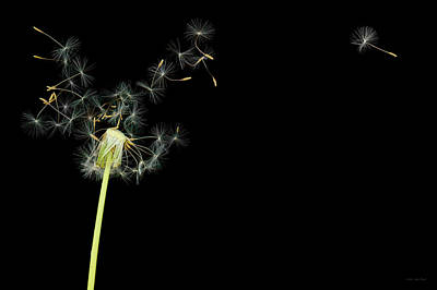 Room Photograph - Flower - Dandelion - Gesundheit  by Mike Savad
