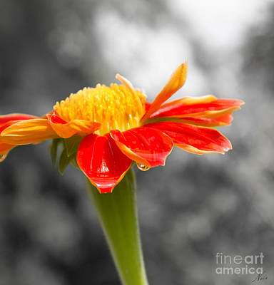 Photograph - Flower Drops by Nola Lee Kelsey
