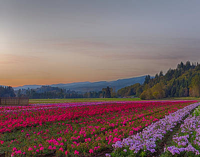 Flower Field At Sunset In A Standard Ratio Art Print