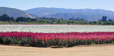 Photograph - Flower Fields Of Lompoc Valley by AJ  Schibig
