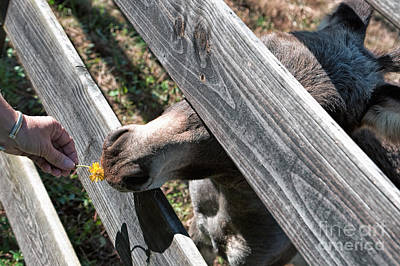 Photograph - Flower For The Miniature Donkey by Kathleen K Parker