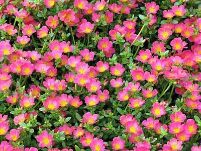 Photograph - Flower Garden 36 by Pamela Critchlow