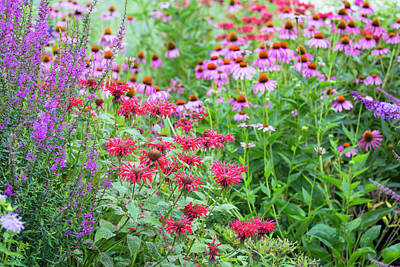 Bee Balm Photograph - Flower Garden (purple Coneflowers, Red by Richard and Susan Day