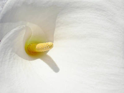 Photograph - Calla Lily - Abstract Nature Photography  by Modern Art Prints