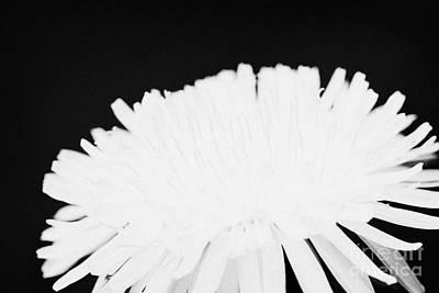 flower head of dandelion taraxacum officinale flower in garden family Compositae Art Print by Joe Fox