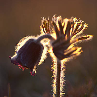 Photograph - Flower In Back Light by Kennerth and Birgitta Kullman