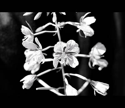 Flower In Black And White Original by Tommytechno Sweden