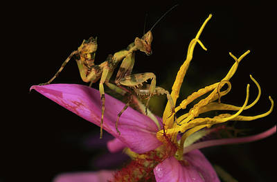 Creobroter Sp Photograph - Flower Mantis Nymph by Mark Moffett