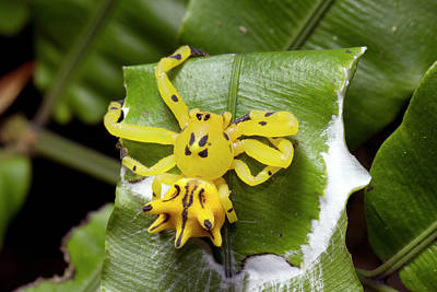 Ecuadorean Fauna Photograph - Flower Mimicking Crab Spider by Dr Morley Read
