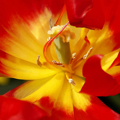 Photograph - Flower Of Fire by Wes and Dotty Weber
