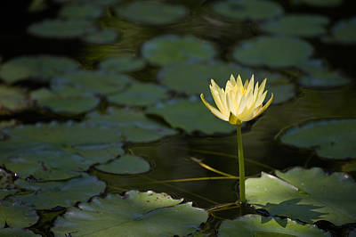 Lilies Royalty-Free and Rights-Managed Images - Flower of Lights by Gregory Ballos