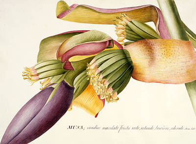 Banana Painting - Flower Of The Banana Tree  by Georg Dionysius Ehret