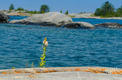 Photograph - Flower On A Rocky Shore by Les Palenik