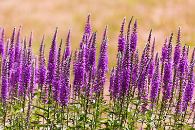 Flower - Speedwell Figwort Family - I Dream Of Lavender  Art Print by Mike Savad