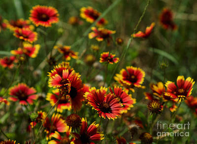 Photograph - Flower - Texas Indian Blanket -  Luther Fine Art by Luther Fine Art