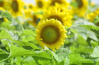Photograph - Flower - Texas Sunflower Field 1 - Luther Fine Art by Luther Fine Art