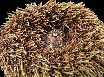 Echinoderm Photograph - Flower Urchin by Natural History Museum, London