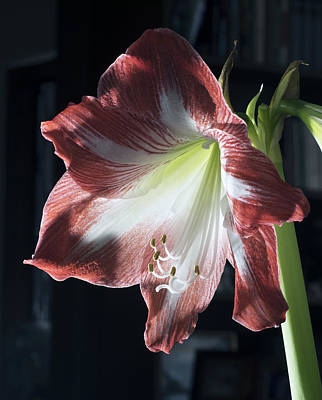 Photograph - Flower With Backlight by Paul Ross