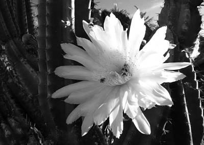 Flowering Cactus 1 Bw Art Print