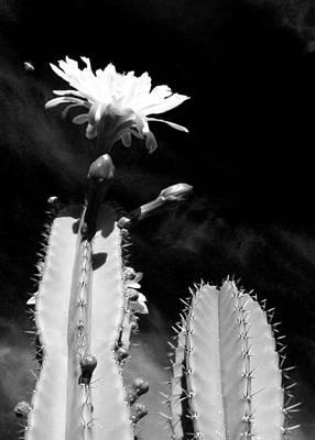Flowering Cactus 2 Bw Art Print