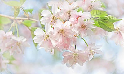 Photograph - Flowering Cherry Tree Blossoms by Jennie Marie Schell