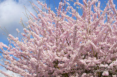Photograph - Flowering Cherry Tree by Sharon Talson