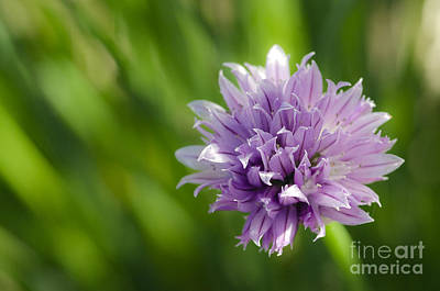 Photograph - Flowering Chive by Dee Cresswell