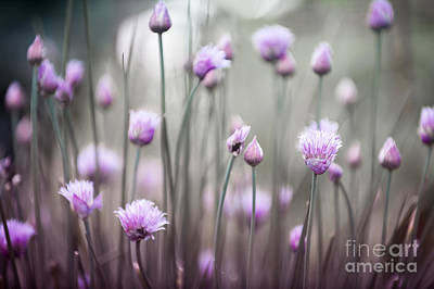 Flowering Chives Iv Print by Elena Elisseeva