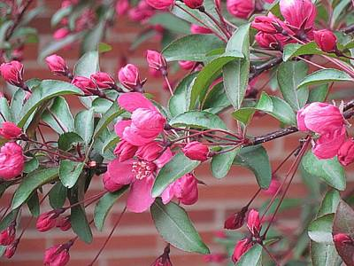 Photograph - Flowering Crabapple 1 by Doug Morgan