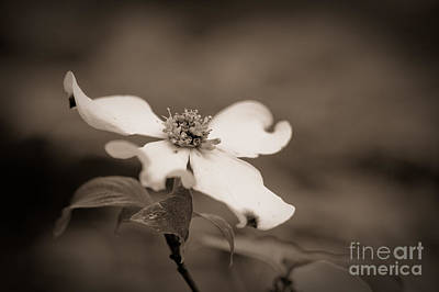 Floral Photograph - Flowering Dogwood Blossom by Oscar Gutierrez