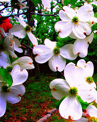 Photograph - Flowering Dogwood Featured by Pamela Hyde Wilson