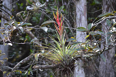 Photograph - Flowering Everglades Air Plant Epiphyte Bromeliad by rd Erickson