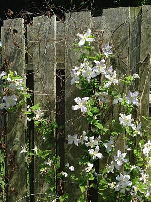 Photograph - Flowering Fence by Nancy-Fay Hecker