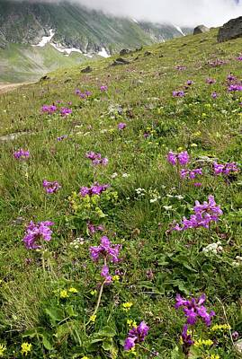 Biological Plant Photograph - Flowering Mountain Grassland by Bob Gibbons