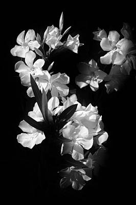 Photograph - Flowering Oleander by Patrick M Lynch