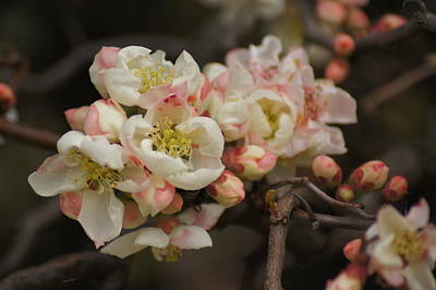 Photograph - Flowering Quince by Bj Hodges