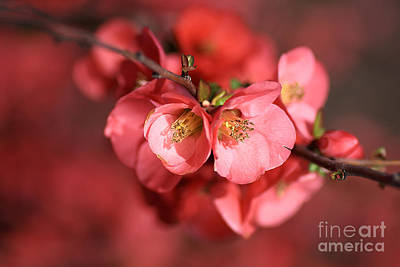 Photograph - Flowering Quince by Joy Watson