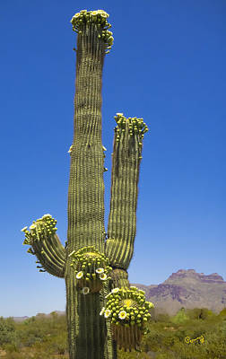 Photograph - Flowering Saguaro Cactus by Penny Lisowski