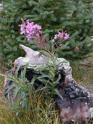 Photograph - Flowering Stump by Shane Bechler