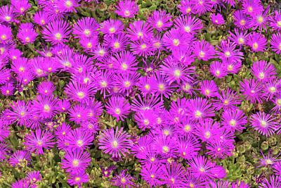 Photograph - Flowering Succulent by Phil DEGGINGER