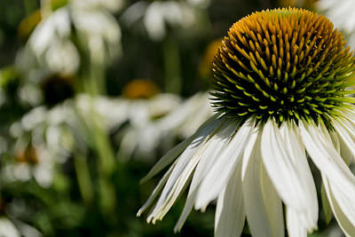 Photograph - Flowers - Echinacea White Swan by Scott Lyons