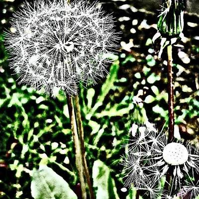 Botanical Photograph - Dandelions  by Jason Michael Roust