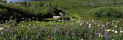 Flowers In A Field, Mt Rainier National Art Print