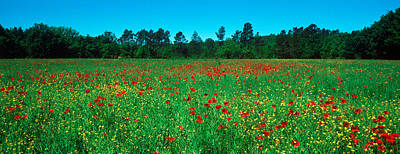 Provence Photograph - Flowers In A Field, Provence-alpes-cote by Panoramic Images