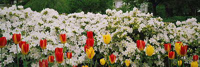 Maryland Photograph - Flowers In A Garden, Sherwood Gardens by Panoramic Images