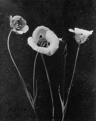 Black And White Photograph - Flowers In Louise Beebe Wilder's Garden by Harry G. Healy
