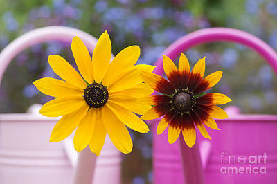Colored Background Photograph - Flowers In Pink Watering Can by Tim Gainey