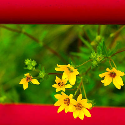 Flowers In Red Fence Art Print