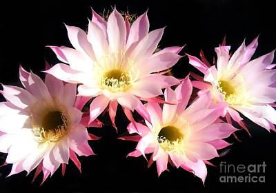 Photograph - Flowers Of A Cactus by Nina Ficur Feenan