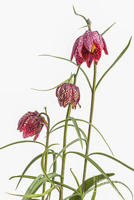 Flowers Of The Fritillaria Meleagris Art Print by Patricia Hofmeester